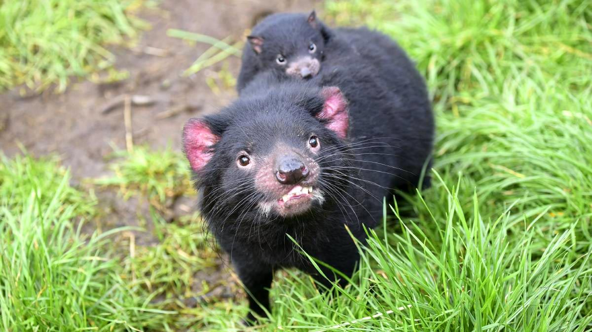 Tasmanian Devill and Joey